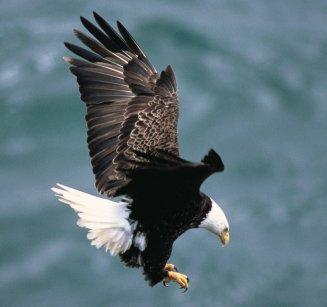 Bald_eagle_landing